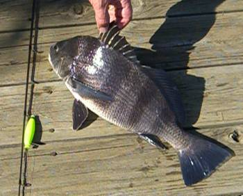 Best all striped drum fish anybody know