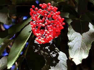 Red elderberry fruit cluster, Mill Creek trail, Trinidad, 17 July 1999